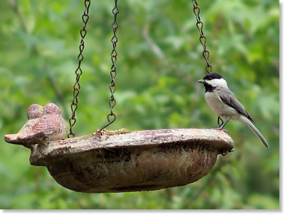 Carolina Chickadee on the Feeder