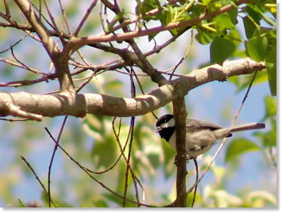 Carolina Chickadee Singing