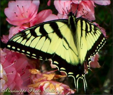 Butterfly Image Copyright © 2005 J. Walker of the Mississippi Photo Gallery All Rights Reserved