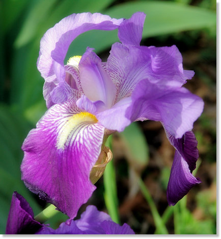 Wild Purple Iris with Glamour Photo Effects