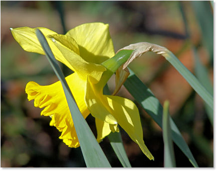 Early Spring Daffodil